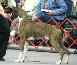 Declan and Terri won the open brindle class!