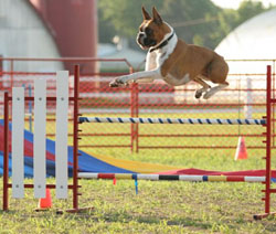 Payton clearing a jump in agility.