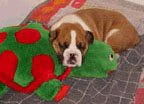 Bogey sleeping with toy turtle.