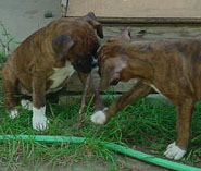 Twig playing boxer puppies.