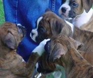 A crowd of boxer puppies.