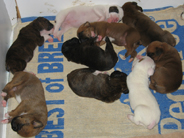 The group of 9 puppies.